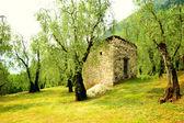 Olive-wood — Zdjęcie stockowe