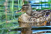 Forest pond and wild female duck — Stock Photo