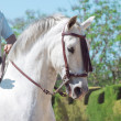Stock Photo: Portrait of Andalusiwhite stallion in movement