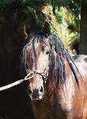 Portrait of amazing Andalusian bay stallion at dark background — Stock Photo