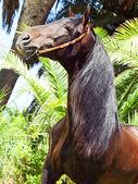 Retrato de estupendo semental andaluz bahía — Foto de Stock