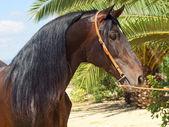 Портрет удивительной Андалузский залив жеребец — Стоковое фото