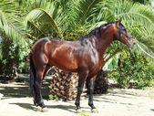 Amazing Andalusian bay stallion near palm — Stock Photo