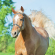 Galloping palomino horse in spring field — Stock Photo