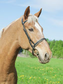 Portrait of palomino cart horse in spring field — Stock Photo