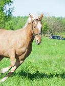 Running palomino horse in spring field — Stock Photo