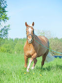 Running palomino hack horse in the spring field — Stock Photo