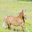 Stock Photo: Palomino hack horse in spring field in movement