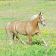 Stock Photo: Trotting palomino hack horse in spring field