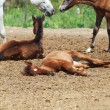 Spanish foals at the rest. Focus on sleeping foal — Stock Photo