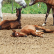 Spanish foals at the rest. Focus on sleeping foal — Stock Photo #10854851