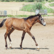 Stock Photo: Andalusifoal in paddock
