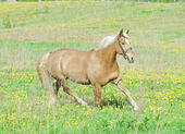 Trotting palomino hack horse in the spring field — Stock Photo