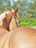 Porträt der Palomino Pferd Blick hinter — Stockfoto