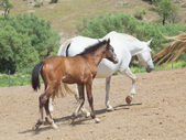 Little Andalusian foal with mom in paddock — Stock Photo