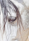 Eye of purebred Andalusian white horse closeup — Stock Photo