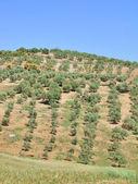Trevligt spanska landskap med unga olivträd trädgård på våren — Stockfoto