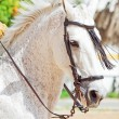 Portrait of Andalusian white stallion in movement — Stockfoto