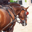 Beautiful breed carriage horses in Andalusia looking behind, S — Stock Photo
