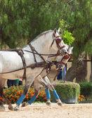Beförderung weißen pferden in jeres, spanien — Stockfoto