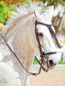 Portrait of Andalusian white stallion in movement — Stock Photo
