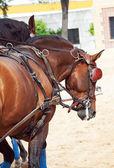 Krásné plemeno tažní koně v andalusii za s — Stock fotografie