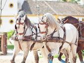Cavalli di razza bella carrozza in andalusia, spagna — Foto Stock