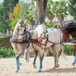 Beautiful breed carriage horses in Andalusia, Spain — Stock Photo #10958912