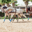 Four beautiful breed carriage horses in Andalusia, Spain — Stock Photo