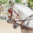 Foto de Stock  : Portrait of beautiful breed carriage horses in Andalusia, Spai