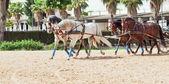 Dört güzel ırk carriage atları andalusia, İspanya — Stok fotoğraf