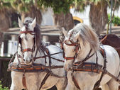 Beautiful breed carriage horses in Andalusia, Spain — Foto Stock
