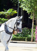 Portrait of nice carriage white horse in move, Spain — Foto Stock