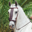 Portrait of wonderful  Andalusian white speckled stallion at pal — Stock Photo