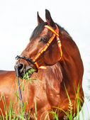 Portait of amazing breed stallion in spainish halter — Stock Photo
