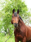 Portrait of wonderful Trakehner stallion at spring season — Stock Photo
