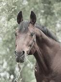 Portrait of wonderful Trakehner stallion in spring birch forest — Stock Photo