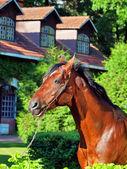Portrait of nice breed german stallion — Stockfoto