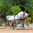 Beautiful breed carriage horses in Andalusia, Spain.sunny day — Stock Photo #11818752