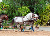 Beautiful breed carriage horses in Andalusia, Spain.sunny day — Stock Photo