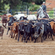 Rural work with cow herd  in Andalusia, Spain - Stock Photo