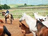 Pferde-Herde im spanischen Hof. Andalusien. Spanien — Stockfoto