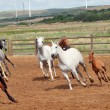 Running spanish horses herd. Andalusia. Spain - Stock Photo