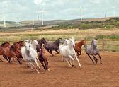 Running spanish horses herd. Andalusia. Spain — Stock Photo