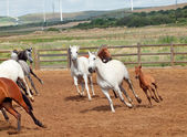 Běží španělské koně nahánění. andalusie. španělsko — Stock fotografie