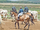 Traditional spanish rural work with cow herd in Andalusia, Spai — ストック写真