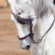 Portrait of nice specled spanish horse in move. Andalusia, Spain — Stock Photo