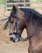 Portrait of beautiful spanish horse in movement. Andalusia, Spai — Stock Photo