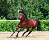 Galloping bay sportive german stallion in open manege — Stock Photo