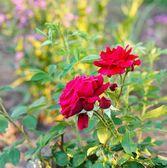 綺麗な薔薇の庭 — ストック写真